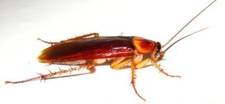 Уничтожение тараканов в Ногинске