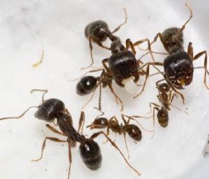 Уничтожение муравьев в Балашихе