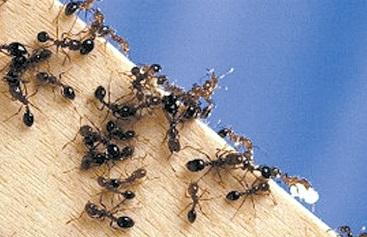 Уничтожение муравьев в Ногинске