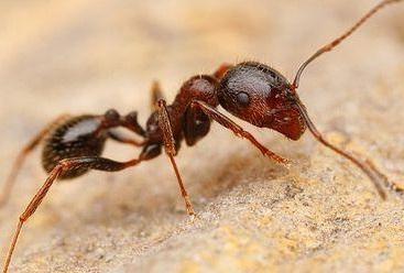 Уничтожение муравьев в Пушкино