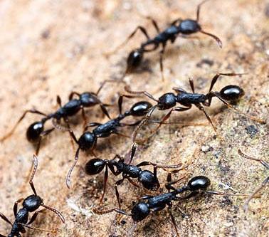 Уничтожение муравьев в Щелково