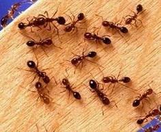 Уничтожение муравьев в Ивантеевке