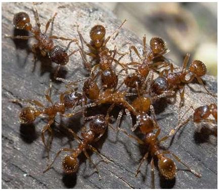 Уничтожение муравьев в Лобне