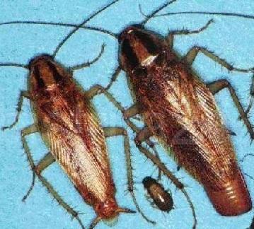 уничтожение тараканов в Павловском Посаде