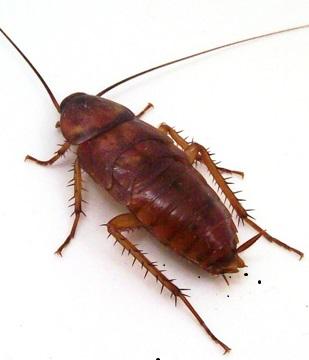 Уничтожение тараканов Зеленоград