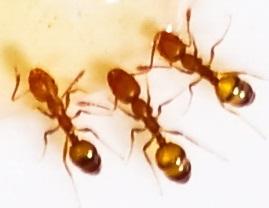 уничтожение муравьев в Электроуглях
